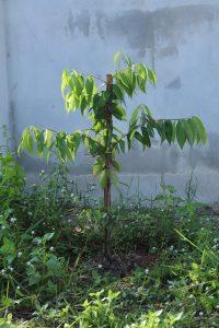 ต้นบุญนาค