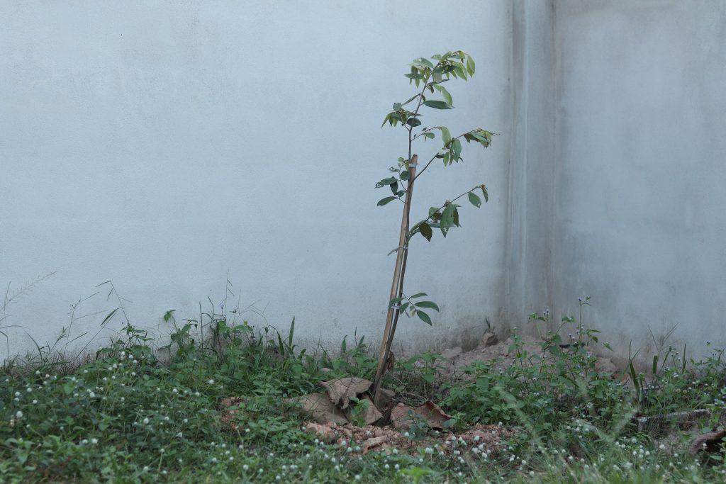 ต้นรวงผึ้ง ต้นไม้ประจำรัชกาลที่10