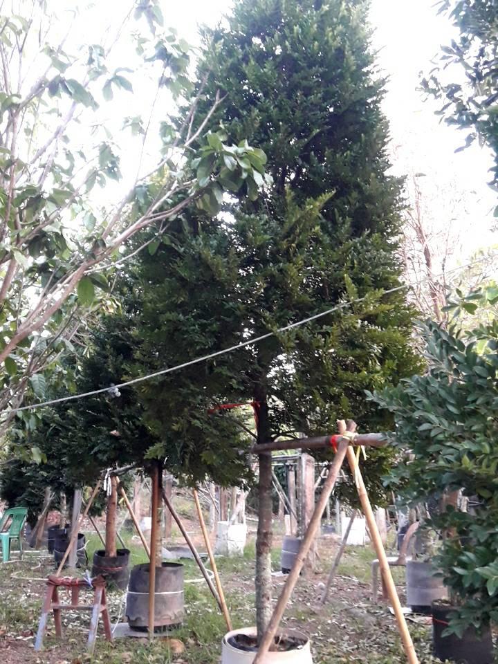 ต้นล่ำซ่ำ 2 เมตร